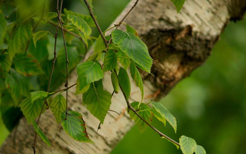 Árvore do mês
