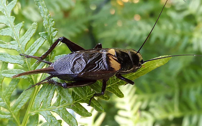 Two-spoted cricket © Paul venter - WikiCommons