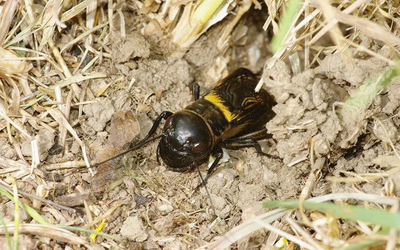 European Field crickets © Hamon-jp - WikiCommons